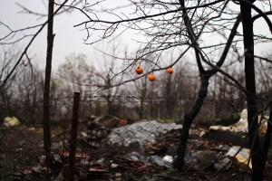Wild citrus, Cumalıkızık, Ottoman village, Bursa. Photo: Emma Marie Horn
