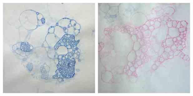 Hydrangeas Bubbles