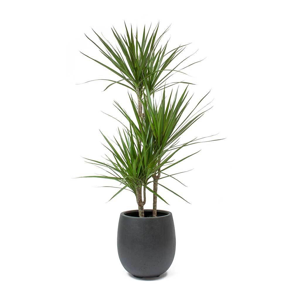 Air purifying Dracaena Marginata plant