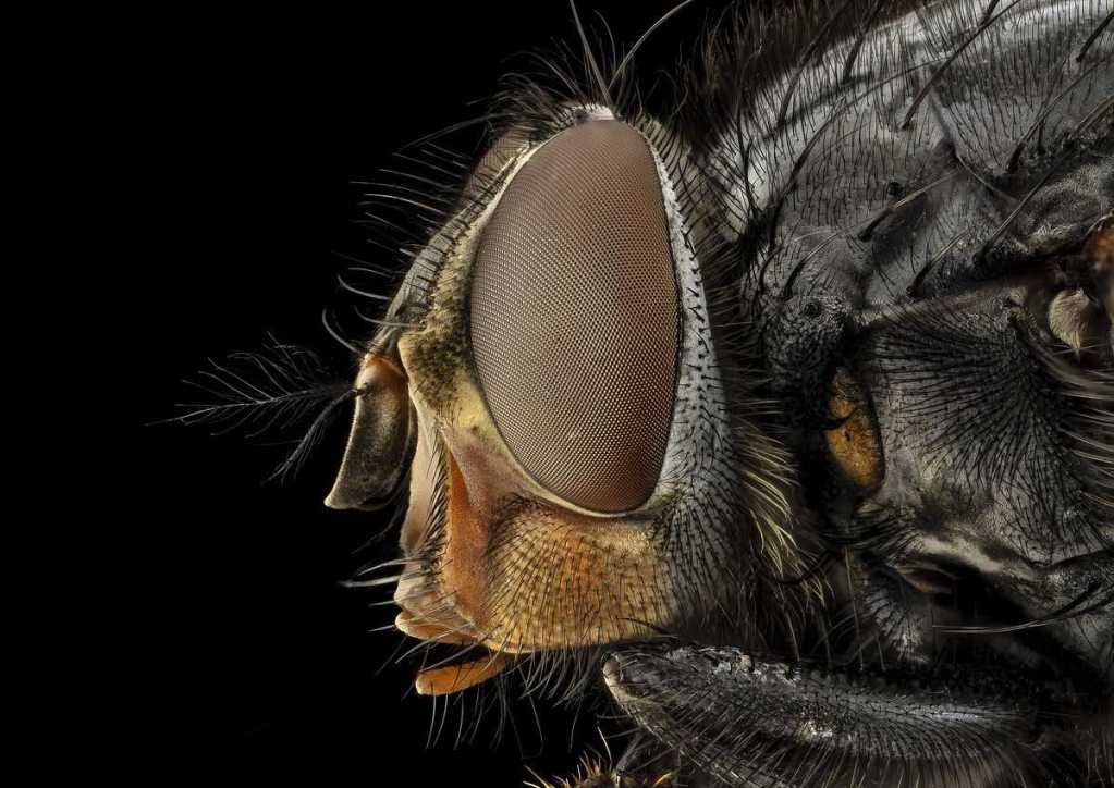 A close up photo of a fly in profile with the eye in the center. The fly is against a black background.