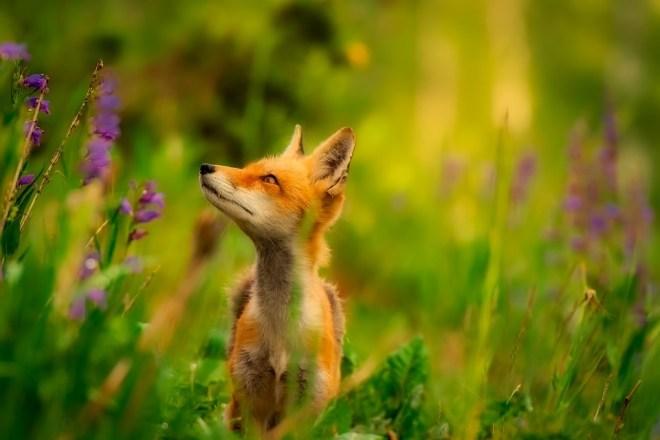 fox-2530225_960_720