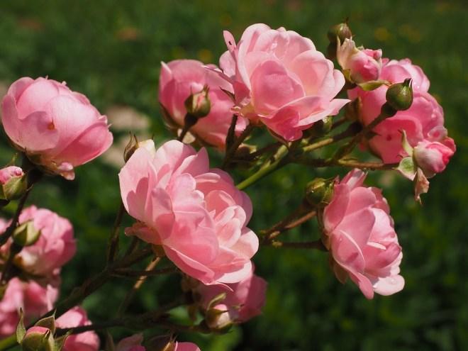 roses-2117370_960_720