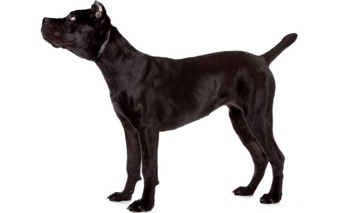 cachorrao