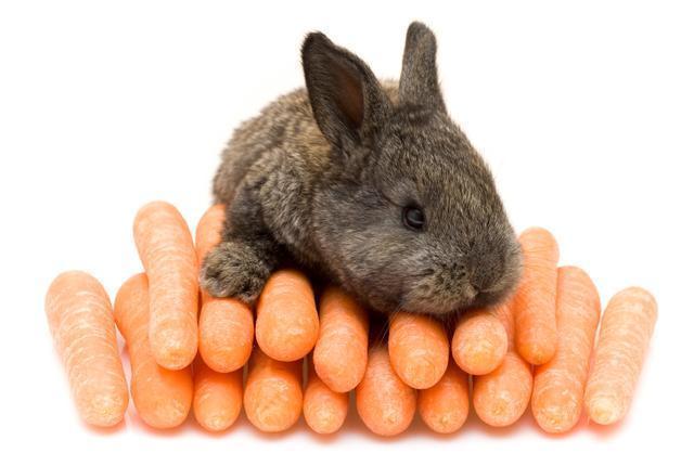 coelho-cenouras