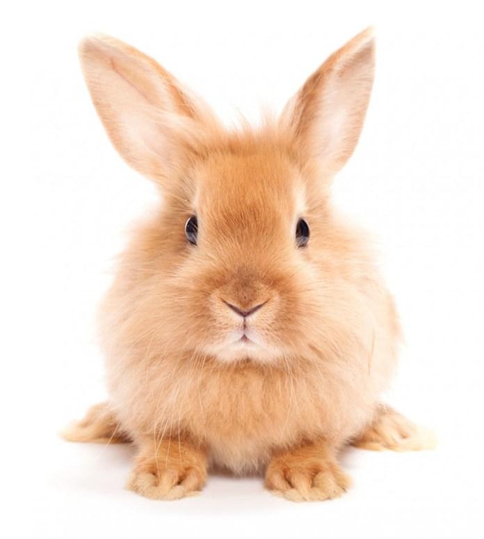 coelho-dourado