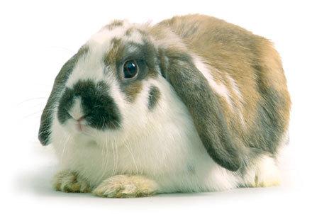 coelho-orelhudo