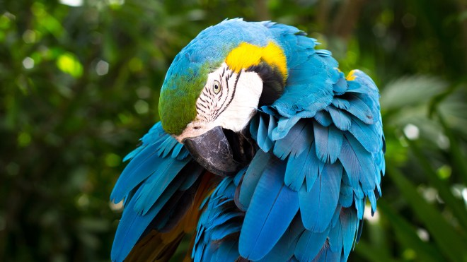 blue_and_yellow_macaw_2-HD