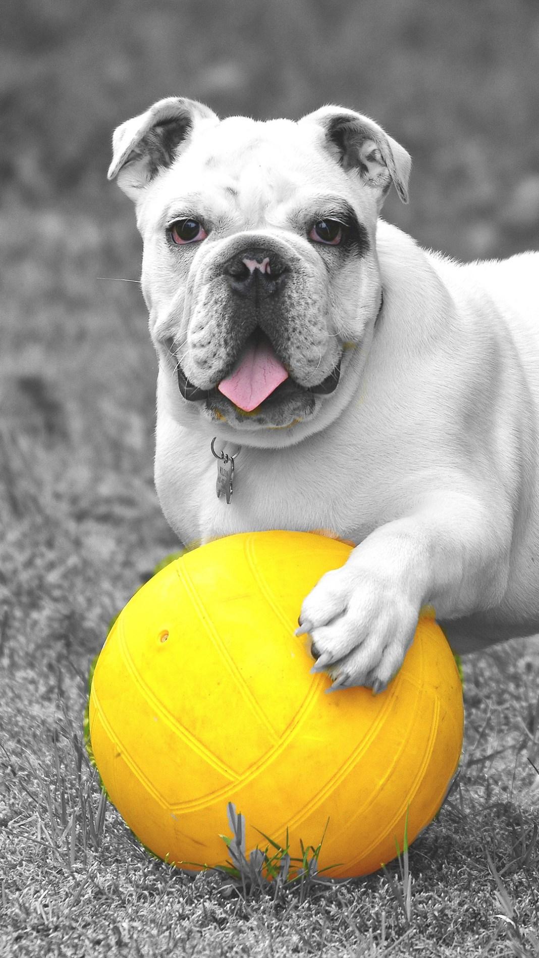bulldog-5331