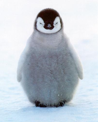 picture of emperor penguin chick
