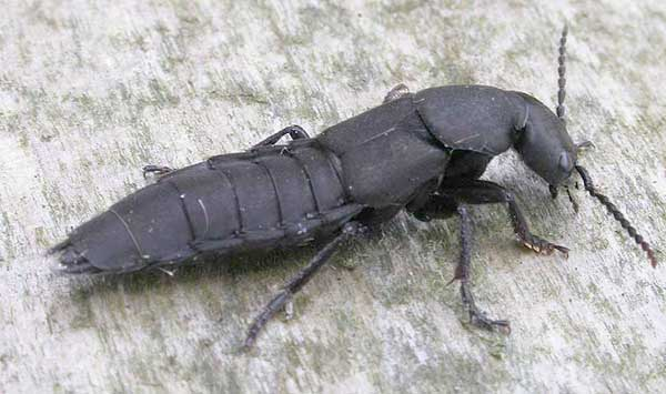 Black Winged Insect Pest House