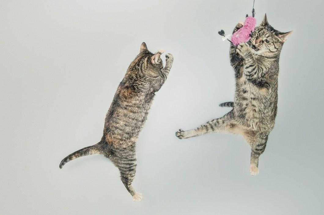 Il gatto mima la caccia con il gioco