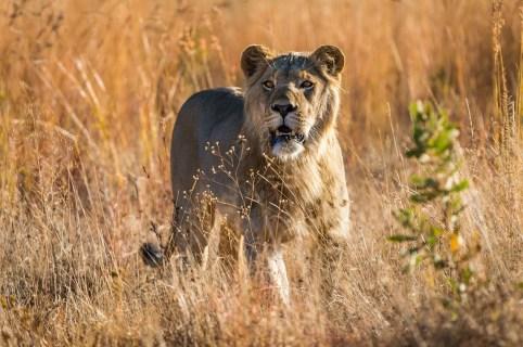 Tshwene Safari Lodge Welgevonden Game Reserve Vaalwaterk South Africa