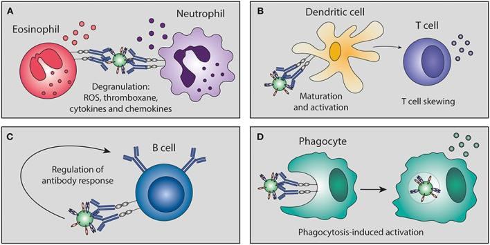Antibodies function
