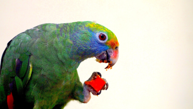 Parrot life cycle Facts