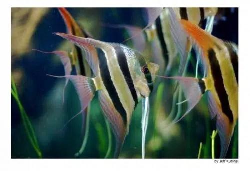 El escalare: la belleza y majestuosidad del pez ángel