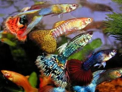 El guppy, un bonito pez fácil de criar