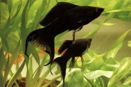 El molly negro, un bello contraste en nuestro acuario