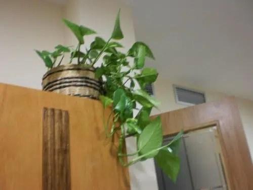 La estrella de las plantas de interior: los potus