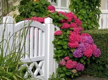 La hortensia, una flor vistosa y muy duradera