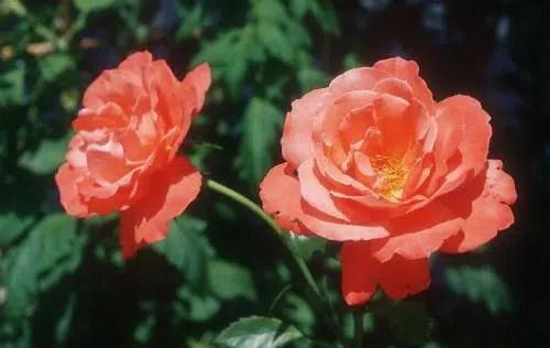 Las flores más románticas: las camelias
