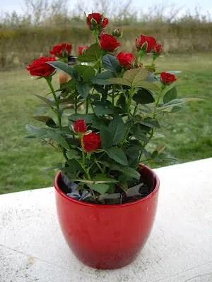 La rosa de pitiminí, una flor ideal para el interior de nuestra casa