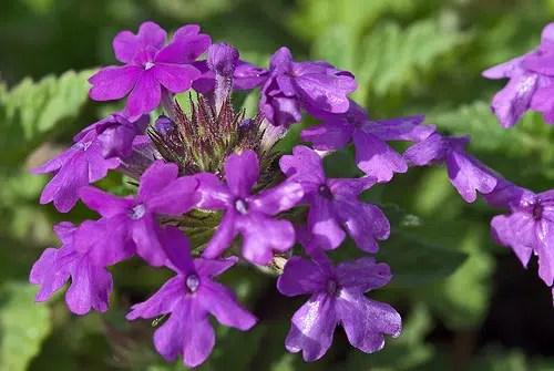 Los treinta y ocho remedios florales para combatir diversas enfermedades
