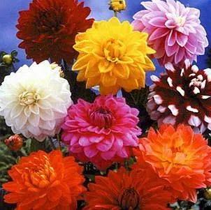 Una explosión de color en nuestro jardín: las dalias
