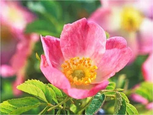 Una flor aliada de nuestra piel: Rosa mosqueta