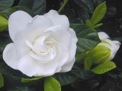 Una flor hermosa y delicada: la gardenia