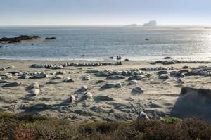 Elephants de mer à Piedras Blancas