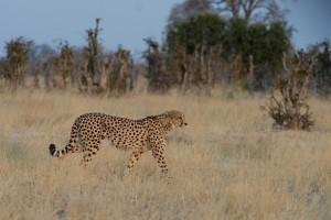 Guépard au Botswana