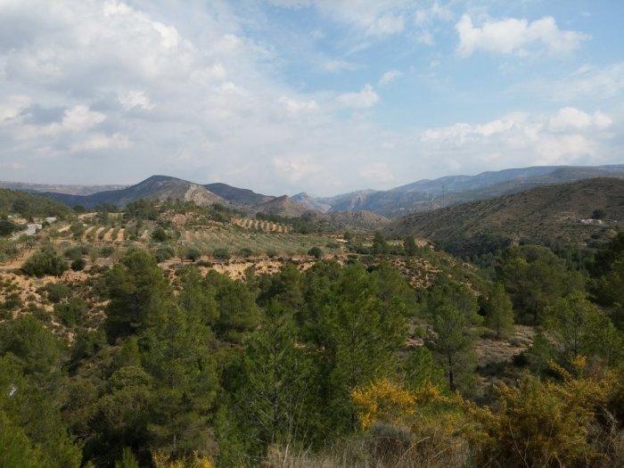 Les champs d'oliviers au milieu des collines