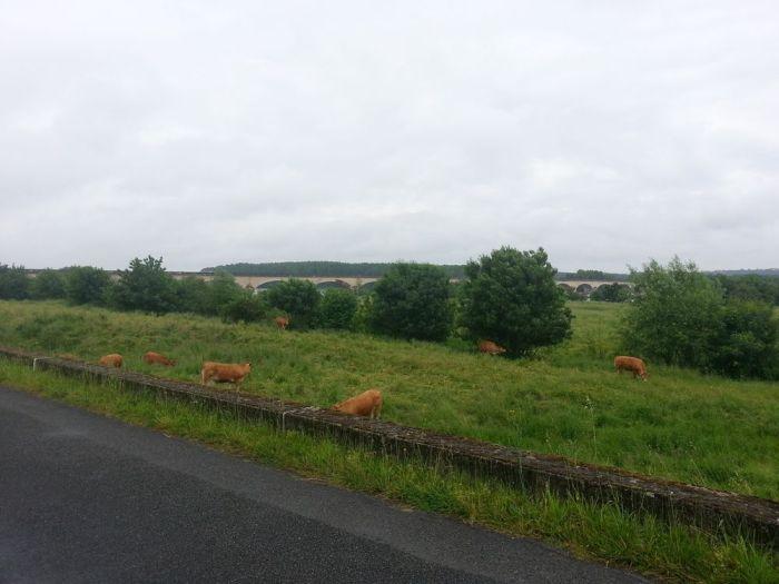 Troupeau de vache le long de la Loire