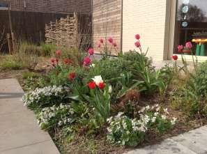 voorjaarsbloemen kleuren de tuin voor de vaste planten doorkomen: roze en rode tulpen, Viola odorata