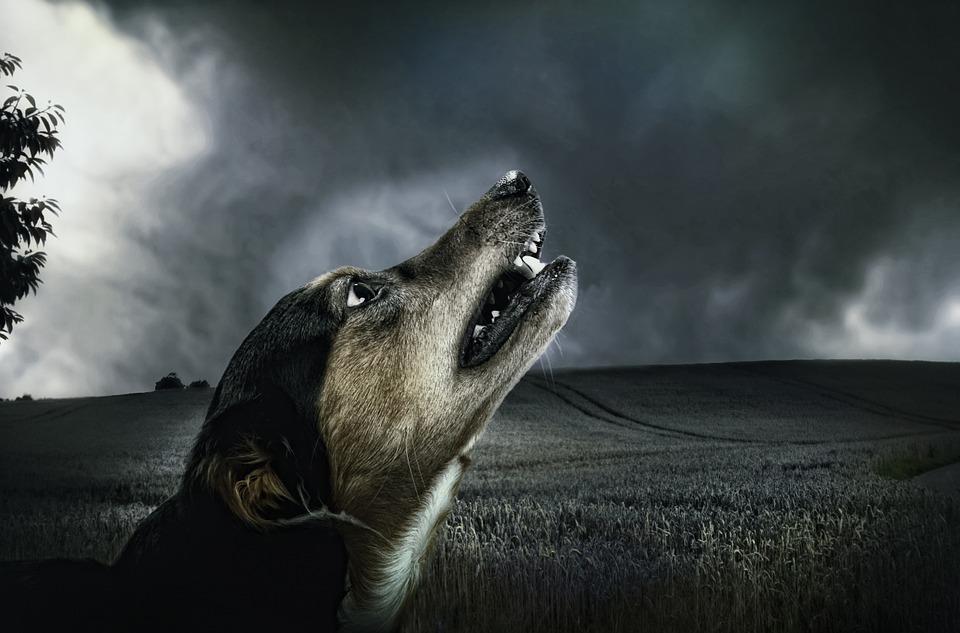 La conducta de aullar del perro
