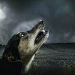 perros aullando