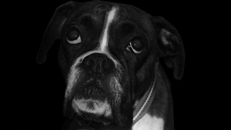 piometra en perros