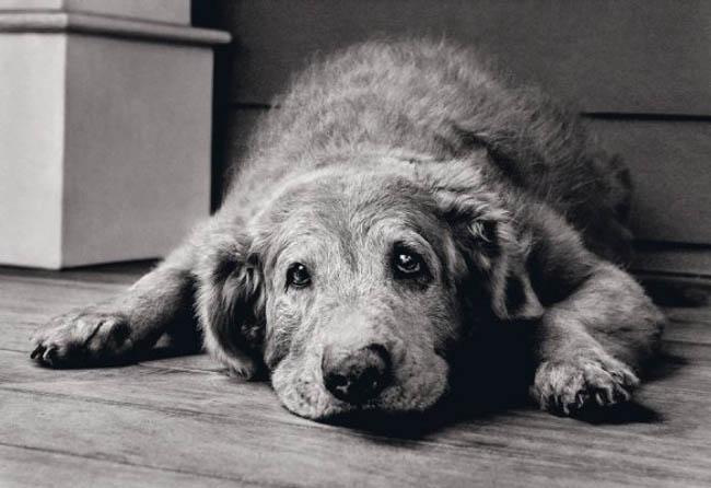 cuando los perros son ancianos