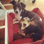 enfermedades de transmisión sexual en perros