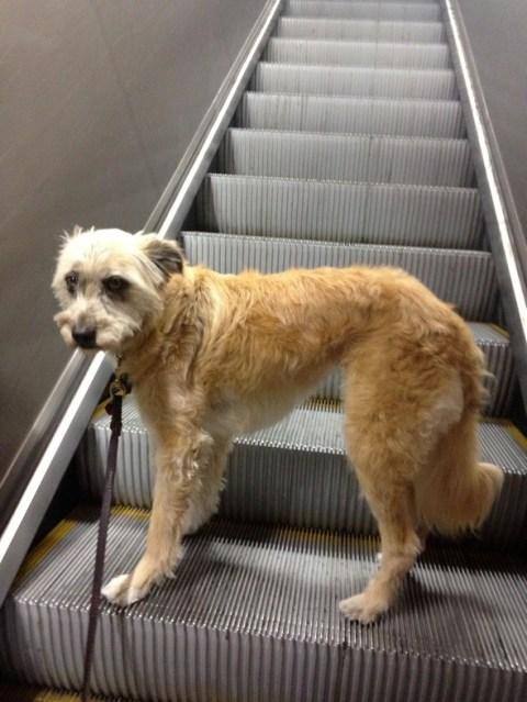 escaleras mecánicas son peligrosas para perros