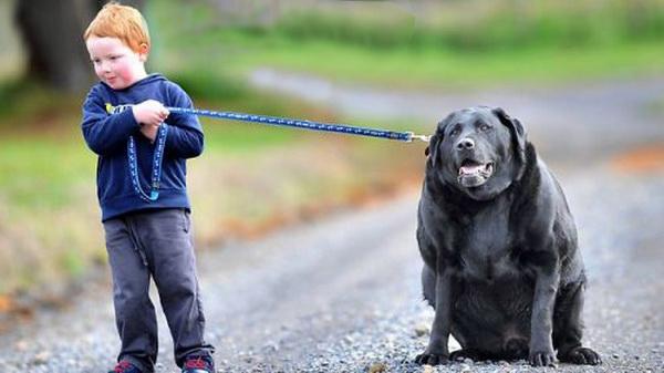 perros obesos