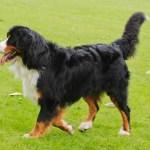 razas de perros más costosas veterinario