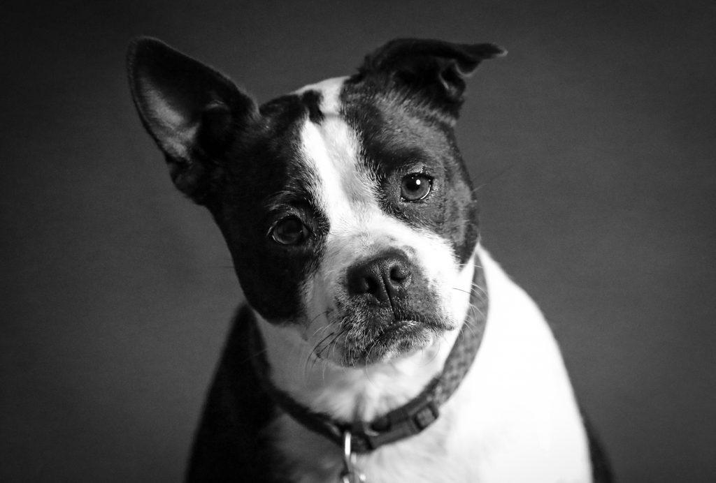 las perras tienen la menopausia