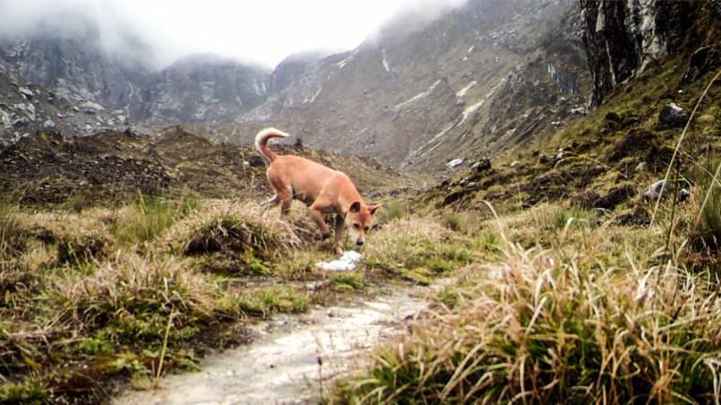 perro salvaje de las tierras altas de Nueva Guinea