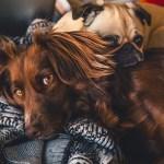 pelos de perro