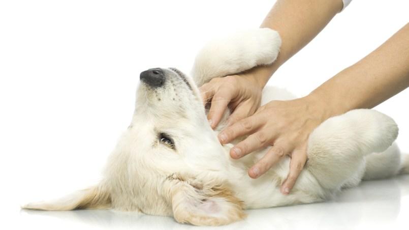colapso traqueal en perros