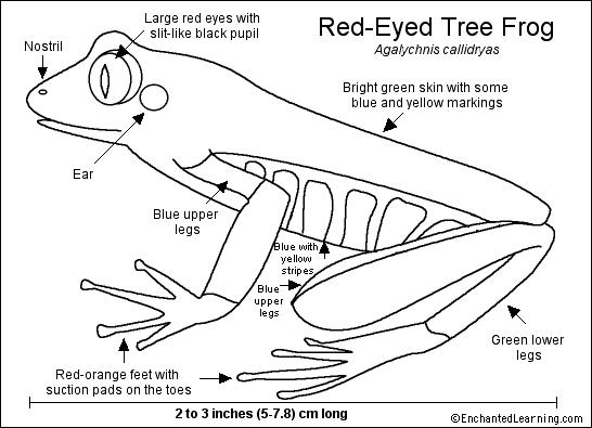 Red-Eyed Tree Frog Printout- Enchanted Learning Software