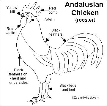 Chicken Anatomy Coloring Coloring Pages