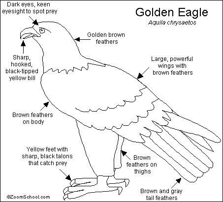 golden eagle skeleton diagram 2017 ford f150 headlight wiring click on a region in the picture to color it with selected color.