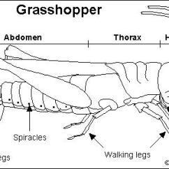 Grasshopper Insect Diagram Arduino Schematic Enchanted Learning Software Search